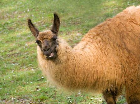 A llama chewing grass looks like he is talking.