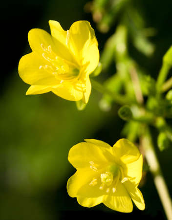 Close-up of two Evening Primrose blossoms in a natural setting. photo