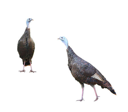 Two wild turkeys isolated on white (with separate paths) Stock Photo