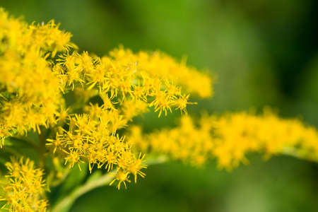Goldenrod shot with selective focus on the small blooms Reklamní fotografie