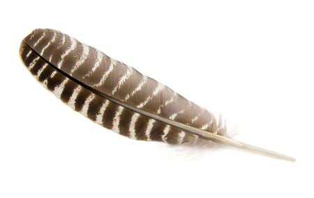 hawk feathers: Turkey feather isolated on white. Stock Photo