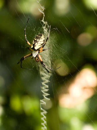 orb weaver: Black and Yellow Argiope (Argiope aurantia) orb weaver spider, with prey  Stock Photo