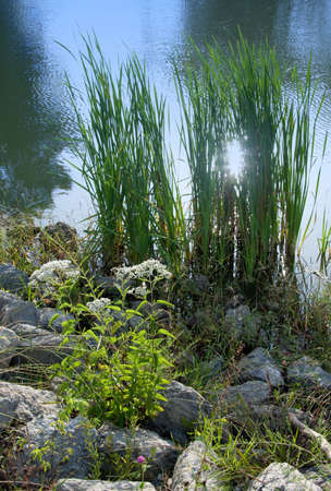 Wildflowers and reeds growing at the edge of a pond. Фото со стока