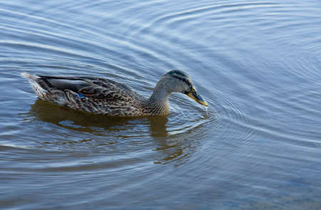A young female mallard duck forages for food in a lake. Stock Photo
