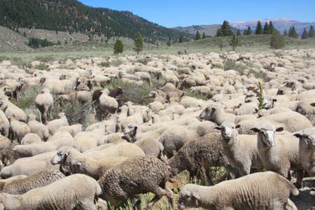 Herd of domestic sheep in the Eastern High Sierras of California. Stock Photo - 3729919