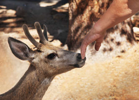 A mans hand touches a young stag mule deer in the wild.