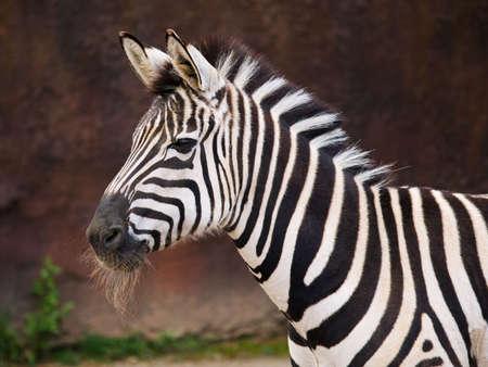 Close-up Zebra portrait against a dark background. Banco de Imagens