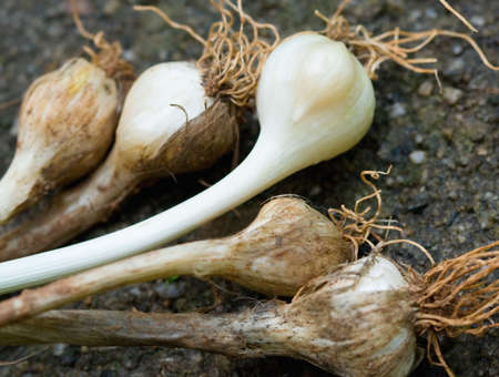 Close-up di aglio selvatico bulbi mostrando con chiodi di garofano. Archivio Fotografico - 3859411