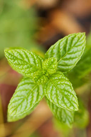 Close-up of spearmint leaves with shallow depth of field. Stok Fotoğraf