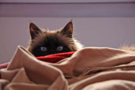 bed sheet: Seal point cat in a stalking pose on a bed.