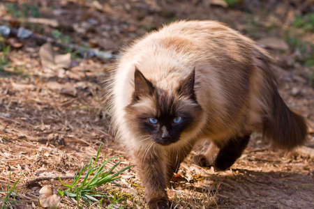 himalayan cat: Seal point cat walking towards the camera.