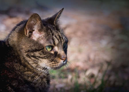15-year old domestic tabby cat in natural setting. 免版税图像