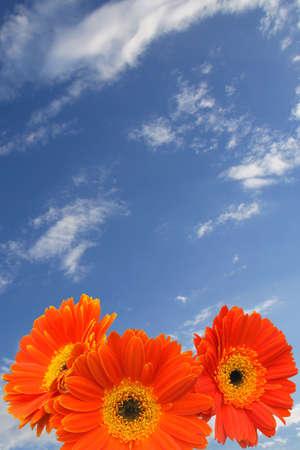 푸른 하늘에 구름에 대하여 오렌지 거 버 데이지.