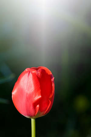 notecard: Solitary red tulip on dark gradation background.