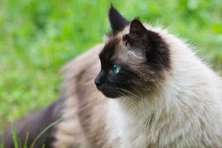 himalayan cat: A seal point longhair cat outdoors in a natural setting. Stock Photo