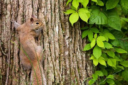 trunk  tree: Ardilla gris rojizo sobre tronco de �rbol con Virginia enredadera de vid. Foto de archivo