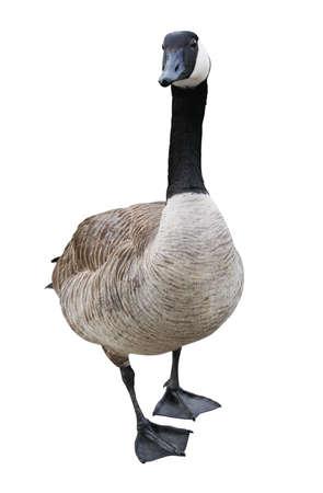 gęsi: Canada Goose wyizolowanych na białym