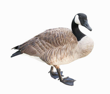 거위: Canada Goose.