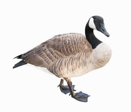 gęsi: Kanada Goose. Zdjęcie Seryjne