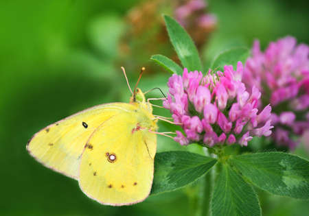 Yellow Southern Dogface Butterfly on Red Clover.
