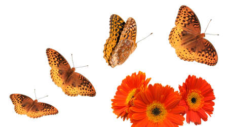 4 separate photos and s for Great Spangled Fritillary butterflies with orange daisies.