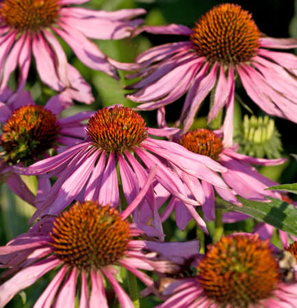 coneflowers: A flower bed of coneflowers are used to make echinacea. Stock Photo