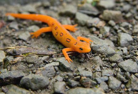 salamandra: Close-up of Oriental Newt manchado Roja (Red Eft) o salamandra.