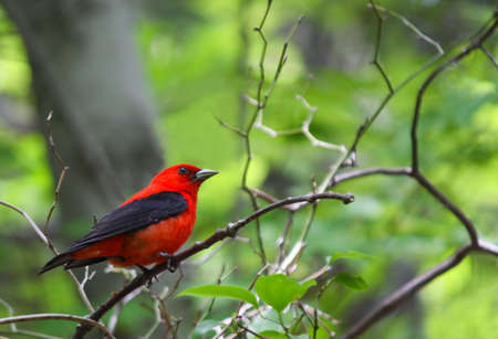 A Scarlet Tanager (Piranga olivacea) perches on a branch in the woods. Stock Photo