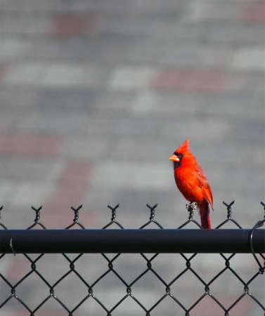 A male Northern Cardinal (Cardinalis cardinalis) perches on a fence. photo