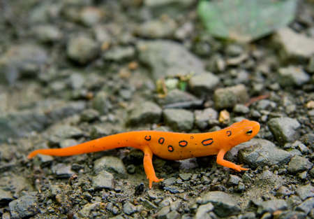 Close-up van Red Spotted of Oost-Newt (Notophthalmus viridescens) Stockfoto