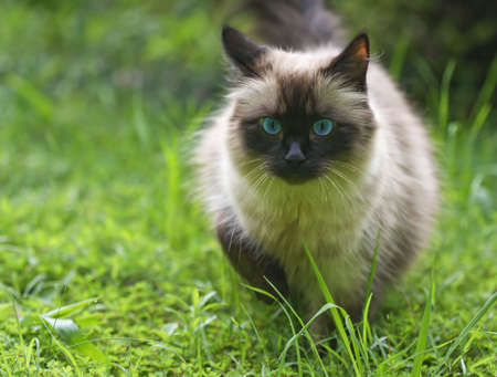 himalayan cat: Seal point cat walking towards camera in a yard.