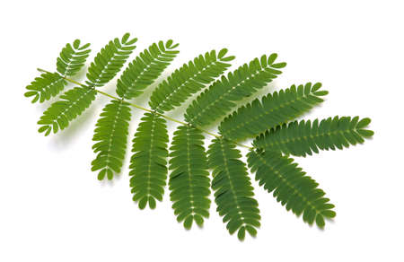 Leaves from a Silk Tree (Albizia julibrissin Durazz) also known as Mimosa or Silky Acacia photo