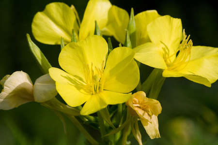 Close-up of Evening Primrose Flowers (Oenothera Biennis) 版權商用圖片