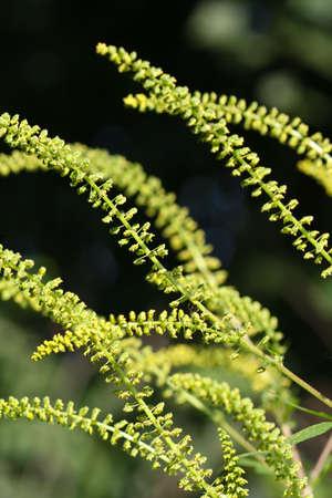 ambrosia: Fiori da Giant Ambrosia (Ambrosia trifida)