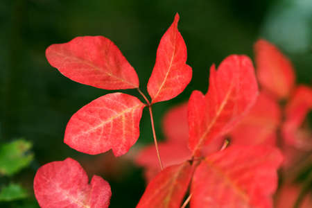 Close-up of Western Poison Oak (Toxicodendron diversilobum) in red phase. 스톡 콘텐츠