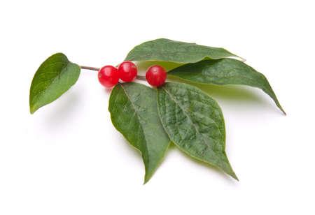 白い背景で隔離赤い果実とアムール ハニーサックル (スイカズラ ミヤマカラスアゲハ)。 写真素材