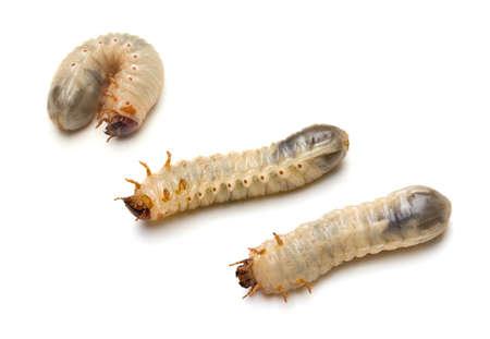 Three Green June Beetle larvae (Cotinis nitada (Linnaeus)