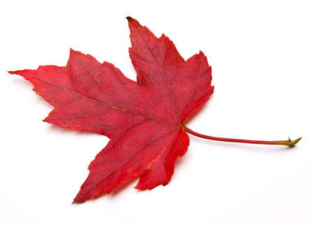 saccharum: Red Sugar Maple Leaf (Acer saccharum) isolated on white. Stock Photo