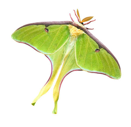 Luna Moth (Actias luna) isolated on white background