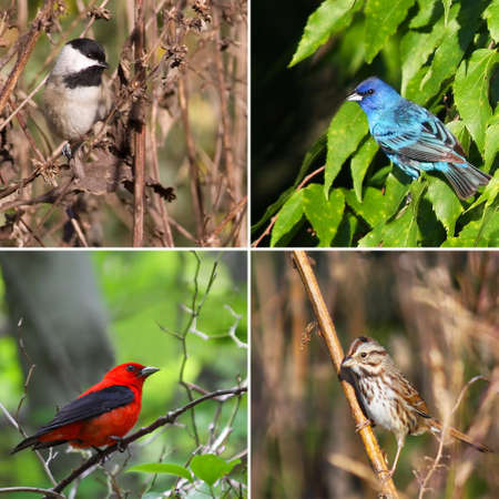 bird watching: Four species of song birds in natural environments.