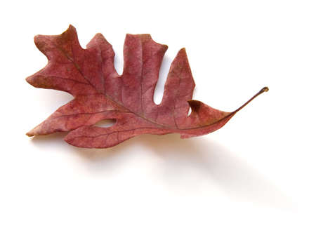endings: Dried White Oak (Quercus alba) leaf isolated on white background.
