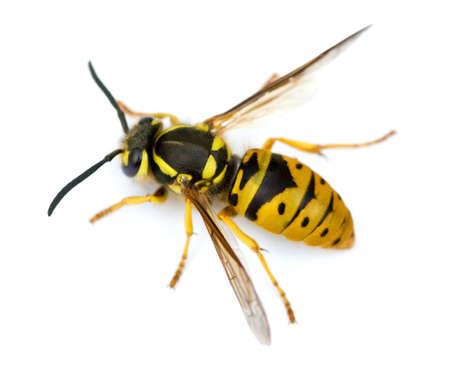 マクロ撮影のヨーロッパのスズメバチ (スズメバチ germanica) 白で隔離されます。