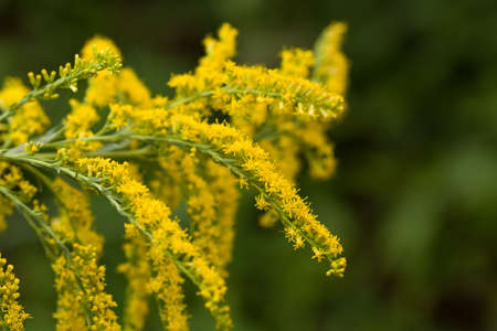Close-up of goldenrod with dark background.