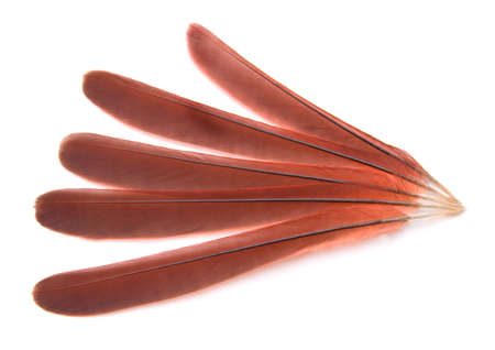 Tail feathers from a Northern Cardinal isolated on white background photo