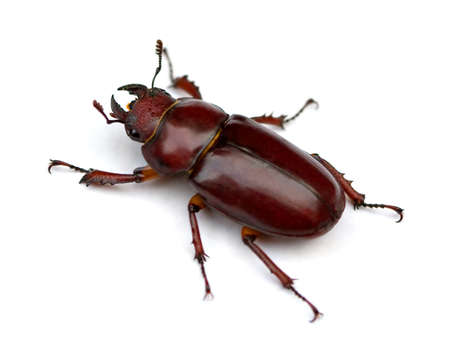 Female Stag Beetle (Lucanus cervus) isolated on white background. Banco de Imagens