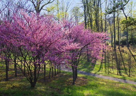 Eastern Redbud trees (Cercis canadensis) at The University of Tennessee Arboretum, Oak Ridge. Stok Fotoğraf