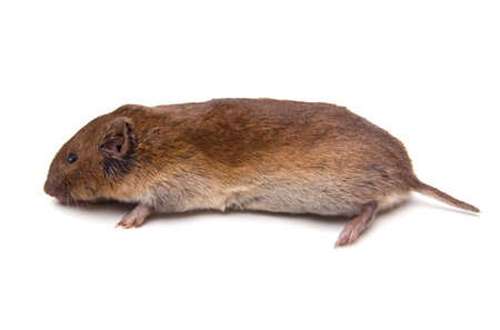 Woodland Vole (Microtus pinetorum) isolated on white background. Stok Fotoğraf - 6296320