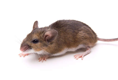 Wild White-Footed Mouse (Peromyscus leucopus) isolated on white background.