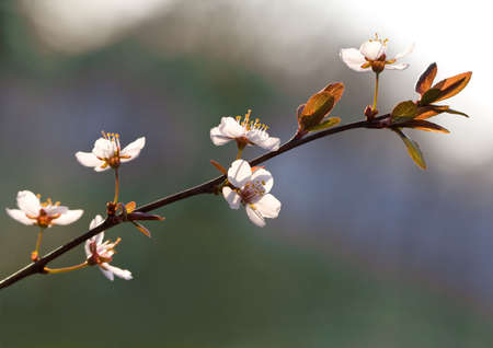 prunus cerasifera: Spring flowers on Purple Leaf Plum (Prunus Cerasifera) Stock Photo
