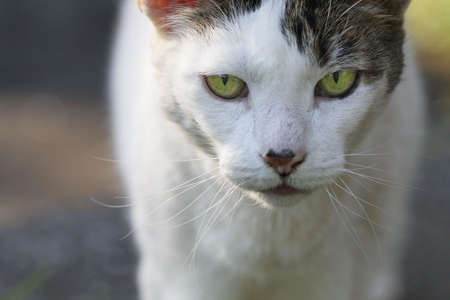 White domestic cat looking at the camera.